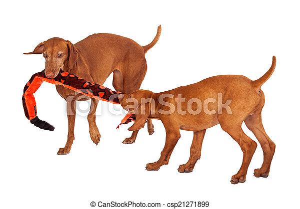 Two Vizsla Dogs Playing With Toy - csp21271899
