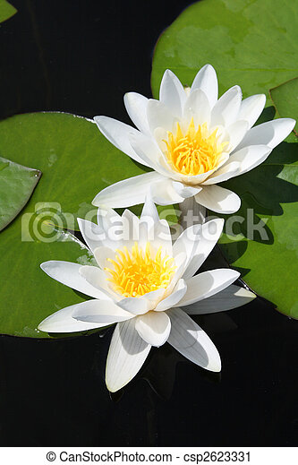 two water-lily - csp2623331