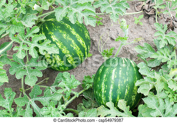 Two watermelons in a garden - csp54979387