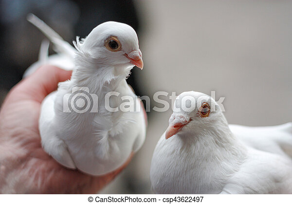 Two White Doves In Hand Symbol Of Friendship And Love