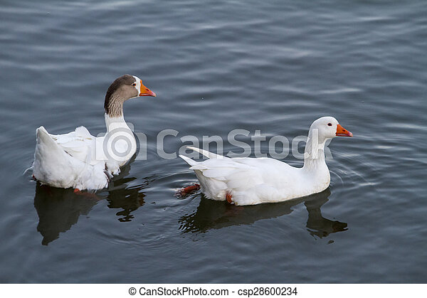 two white ducks swimming on a pond - csp28600234