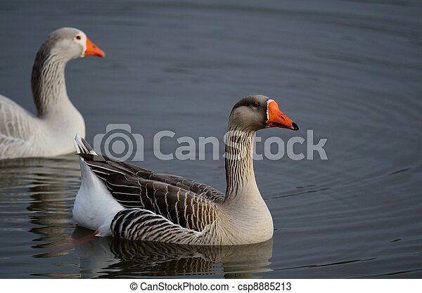 Two White Fronted Geese on a Pond - csp8885213