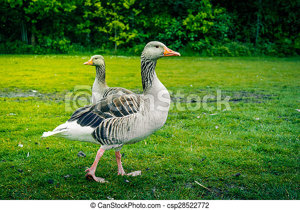 Two wild geese on grass - csp28522772