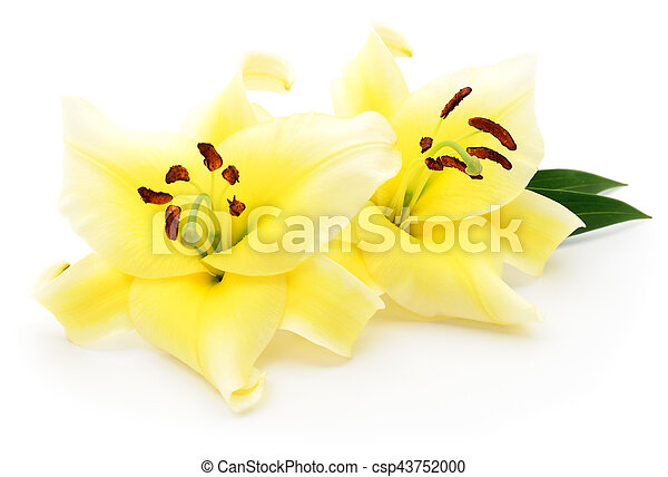 Two yellow lilies. - csp43752000