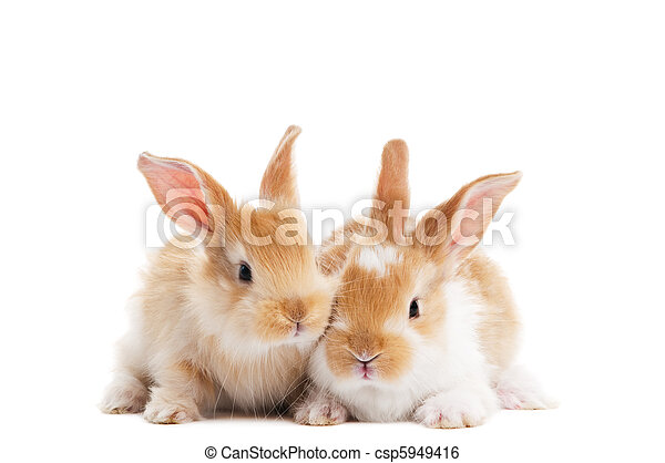 two young baby rabbit isolated - csp5949416