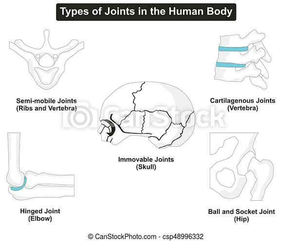 Types of human body joints anatomy for medical science education.