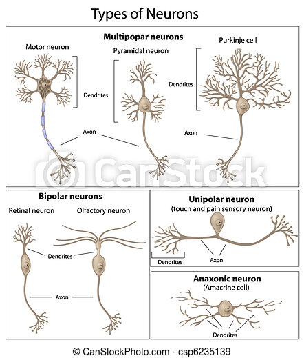 Types of neurons - csp6235139