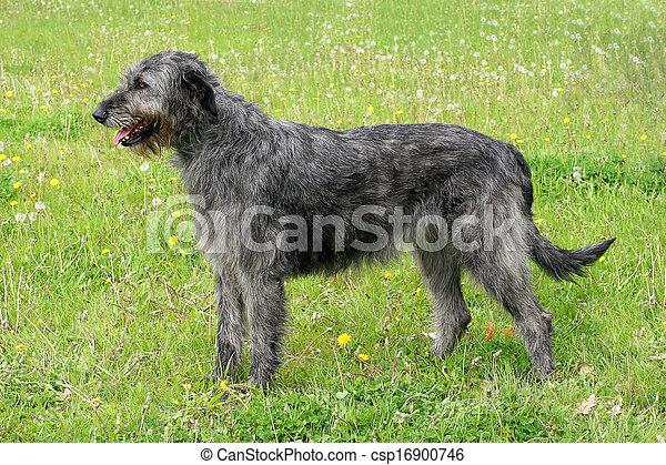 Typical grey Irish Wolfhound  - csp16900746