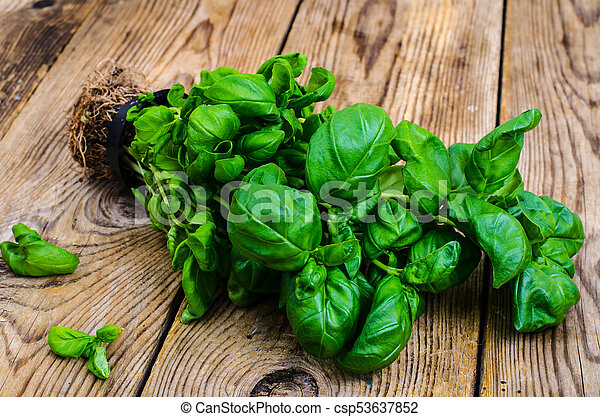 ?ultivation of organic herbs, fresh green basil with roots