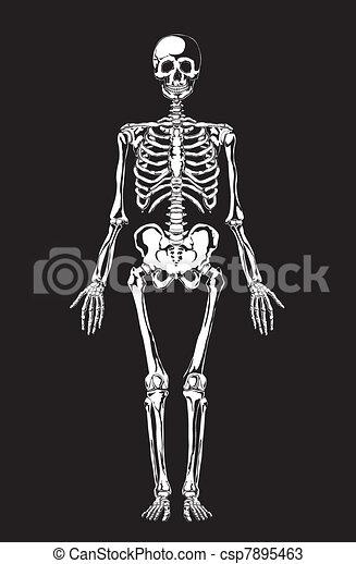 umano, anatomy., scheletro - csp7895463