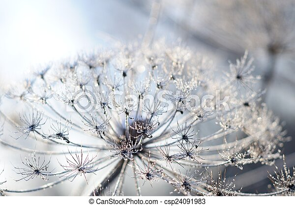 Umbelliferous plant cow-parsnip in winter in rime frost - csp24091983