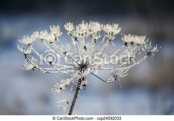 Umbelliferous plant cow-parsnip in winter in rime frost - csp24092033