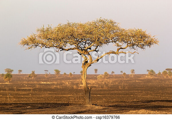 Umbrella Thorn Acacia Acacia Tortilis In The Burned African Savanna