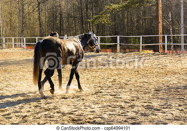 Uncut horse on sand track with trainer - csp64994101