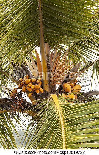 under the coconut tree coconut palm tree with large coconuts