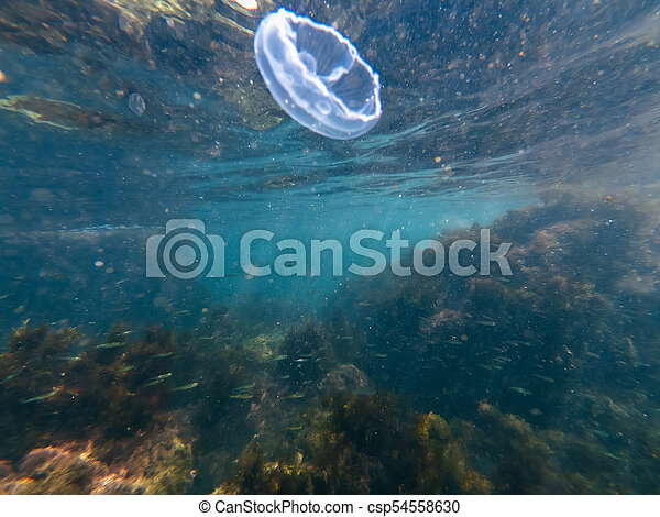 underwater jellyfish in the blue water of the sea with fish and sunlight - csp54558630