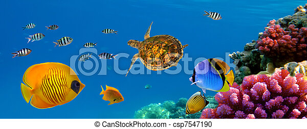 Underwater panorama with turtle, coral reef and fishes - csp7547190