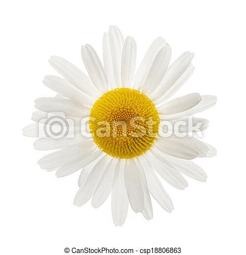 une, pâquerette fleur - csp18806863