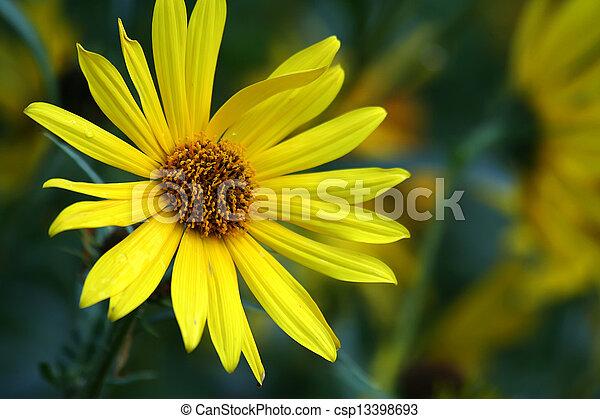 uniflora, helianthella - csp13398693