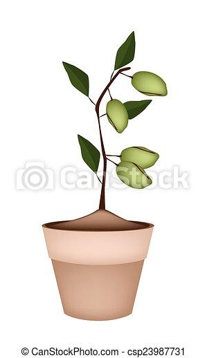 Unripe Almonds on Tree in Ceramic Flower Pots - csp23987731