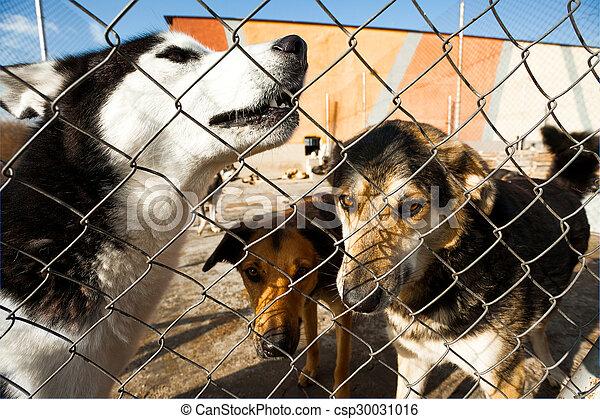 Shelter Husky Heulhunde - csp30031016