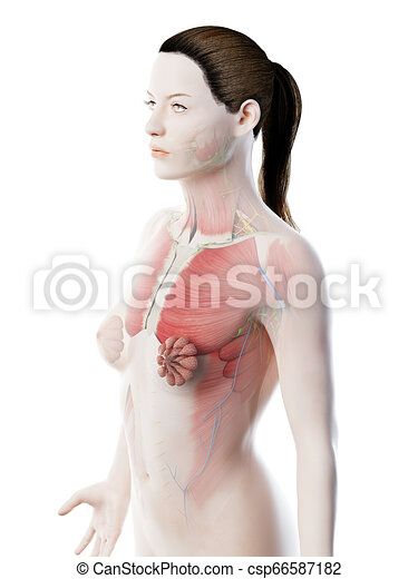 3d Rendered Illustration Of A Females Upper Body Anatomy