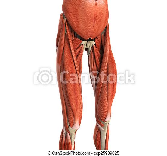 Upper Legs Muscles Anatomy Illustration 3d Render