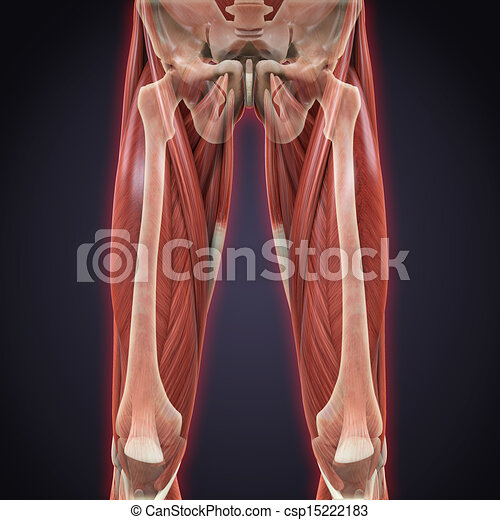 Illustration Of Upper Legs Muscles Anatomy 3d Render