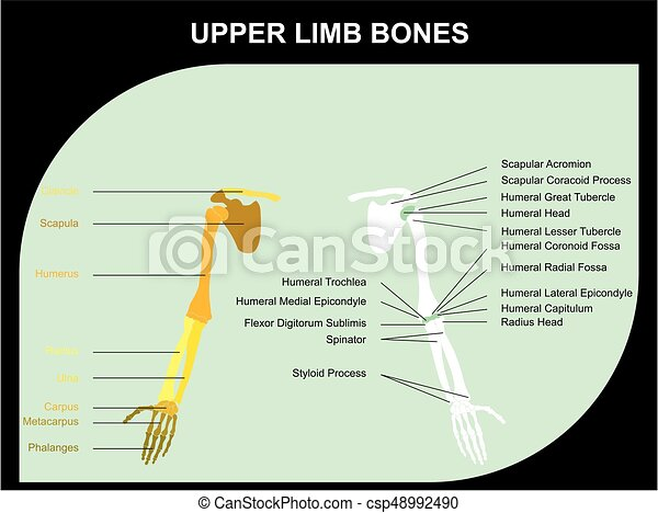 Upper limb bones anatomy of human body for medical science education.