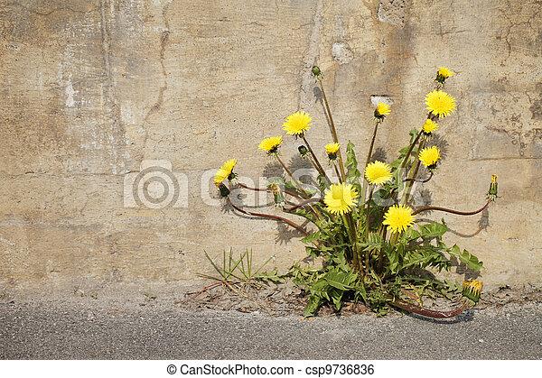 Urban Dandelions - csp9736836