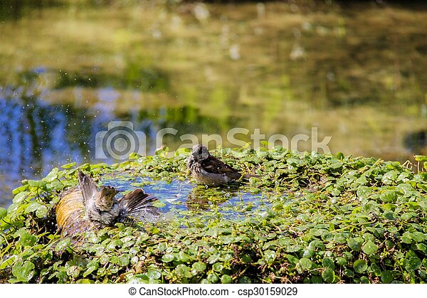 Urban sparrow bathing in the water pool with goldfish - csp30159029