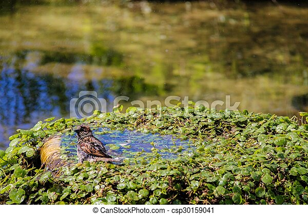 Urban sparrow bathing in the water pool with goldfish - csp30159041