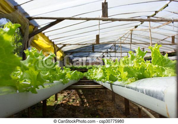 Usines, hydroponic, intérieur, système, salade verte, serre ...