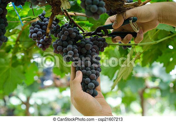 La cosecha de uvas - csp21607213