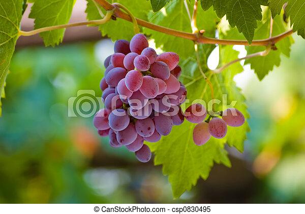 uva, rojo - csp0830495