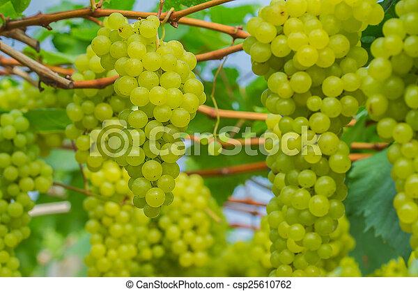 Una joven uva verde - csp25610762