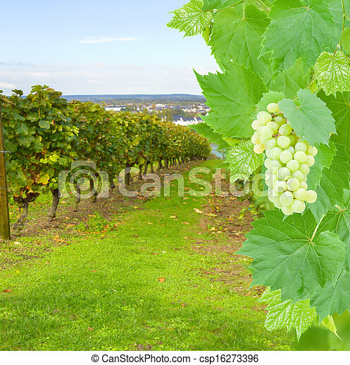 uva, yarda, vino - csp16273396