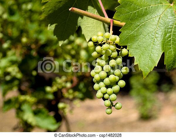 Uvas de vino - csp1482028