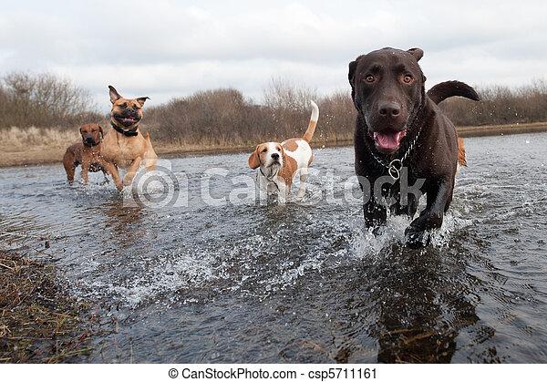 vänner, labrador apportör - csp5711161