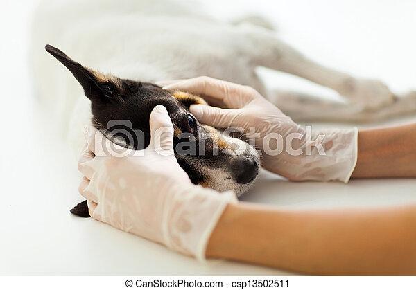 vérification, aide, vétérinaire, oeil, chien - csp13502511