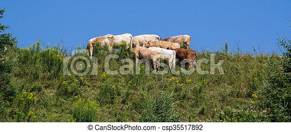 Vacas pastando en la cima de una colina - csp35517892