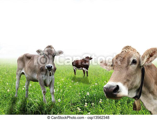 Vacas en un prado - csp13562348