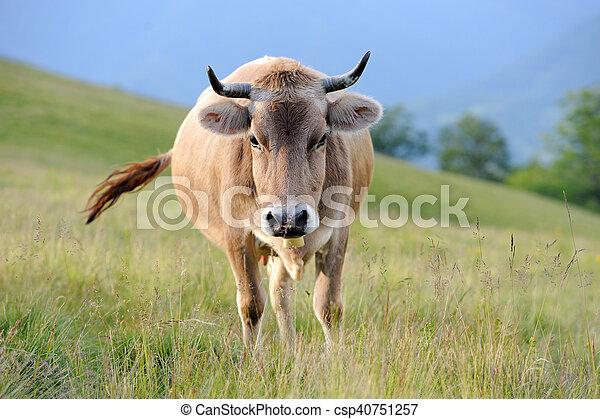 Vacas en un prado de verano - csp40751257