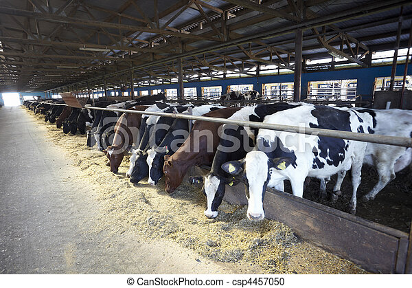 vache lait, ferme, bovin, agriculture - csp4457050