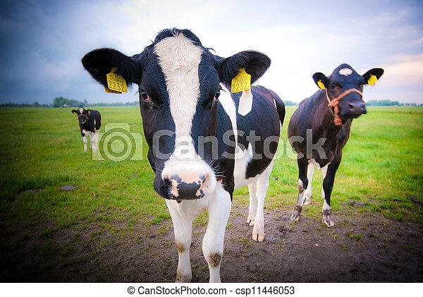 vaches, curieux - csp11446053