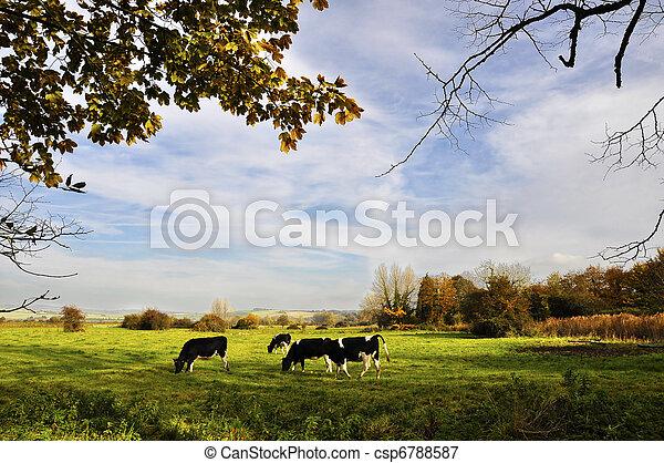 vaches, pré - csp6788587