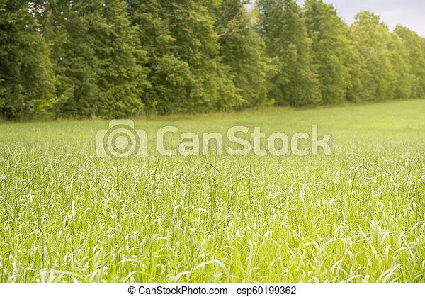 vacker, lätt, parkera, träd, morgon, fält, grönt gräs, publik - csp60199362