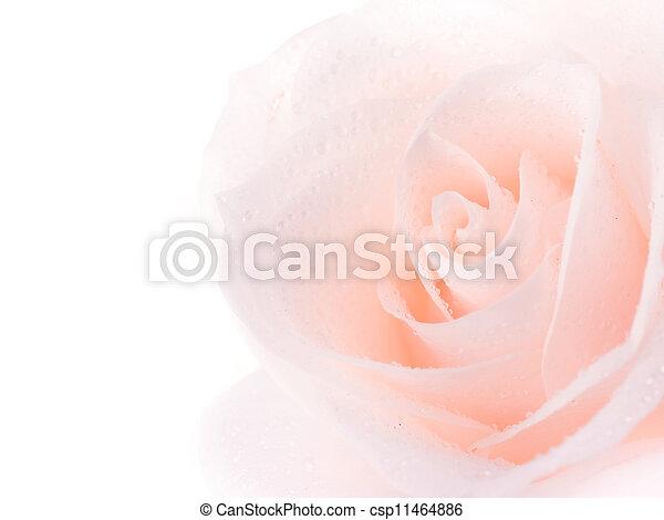 vacker, ro, över, mjuk, vit - csp11464886