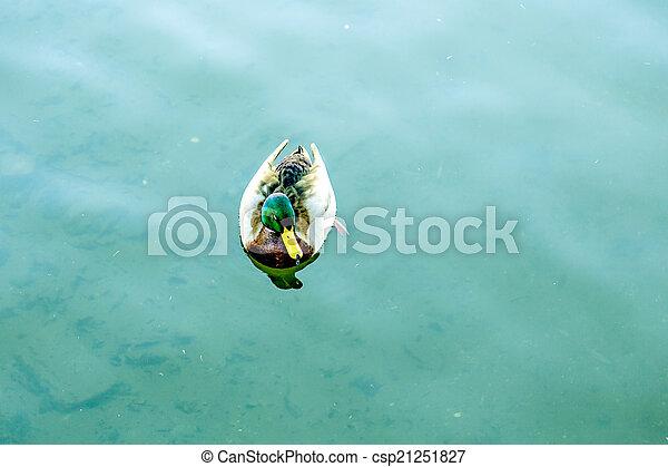 vadkacsa, hím, úszkál, tó, kacsa - csp21251827