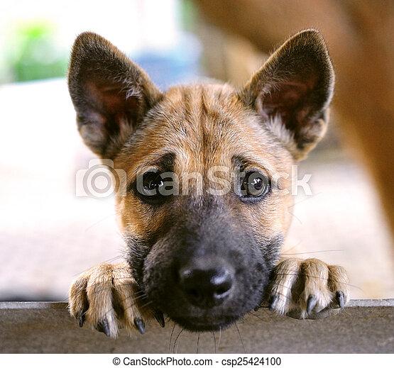 valp, hund - csp25424100